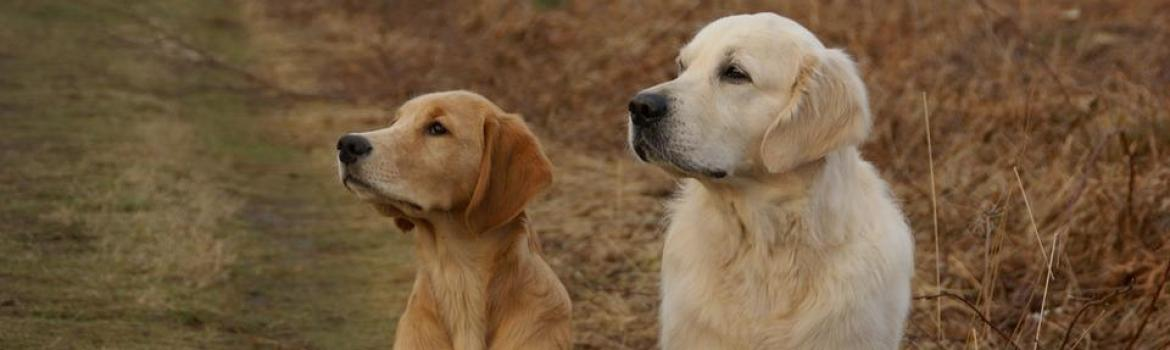 50 sfumature di golden retriever
