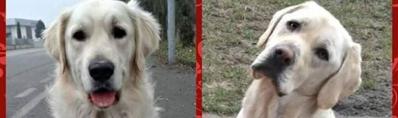 Golden Retriever vs. Labrador Retriever
