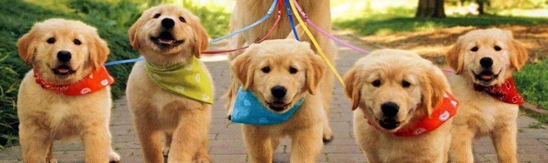 allevamenti golden retriever cuccioli